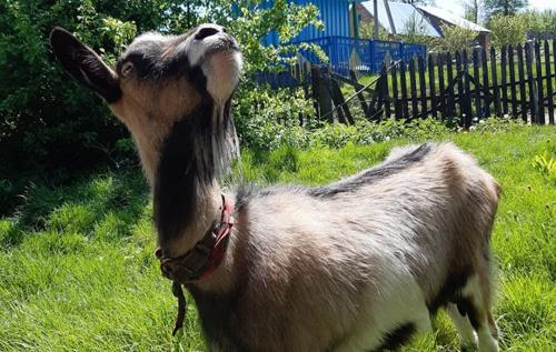 Балувана коза Галя не хоче доїтися, поки її не покатають у джипі. ВІДЕО
