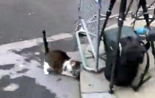 Гроза пернатых: кот-мышелов Бориса Джонсона напал на голубя в прямом эфире. ВИДЕО