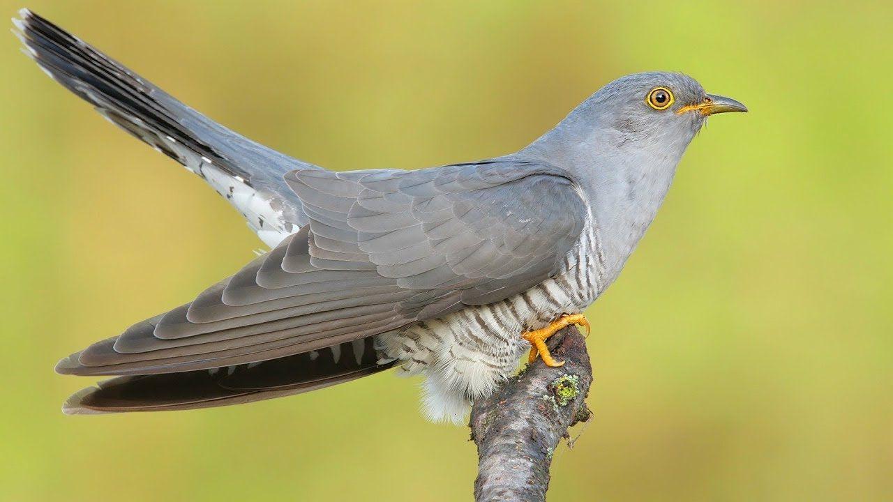 Найдовша міграція пташки