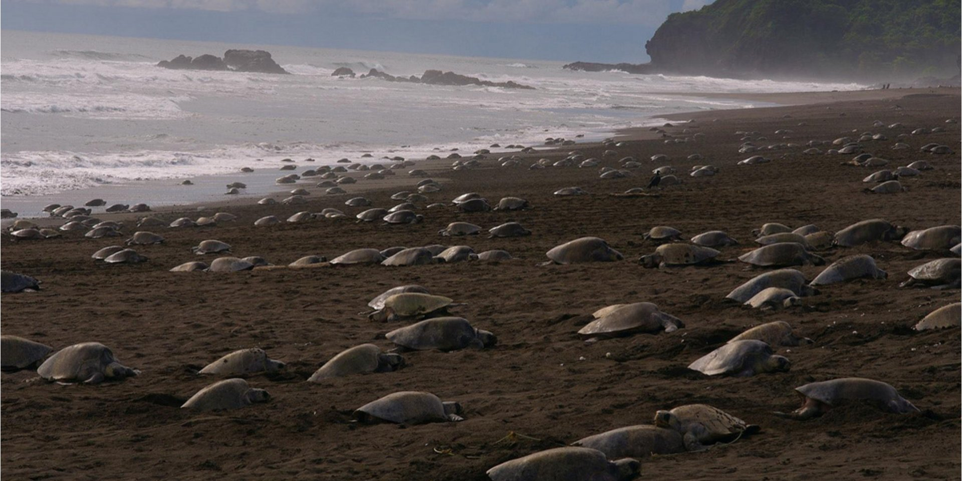 Індійське узбережжя, карантин, черепахи, гніздо, пляж