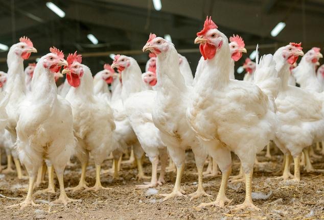 Україна, топ-3, постачання, м'ясо, птиця, ЄС
