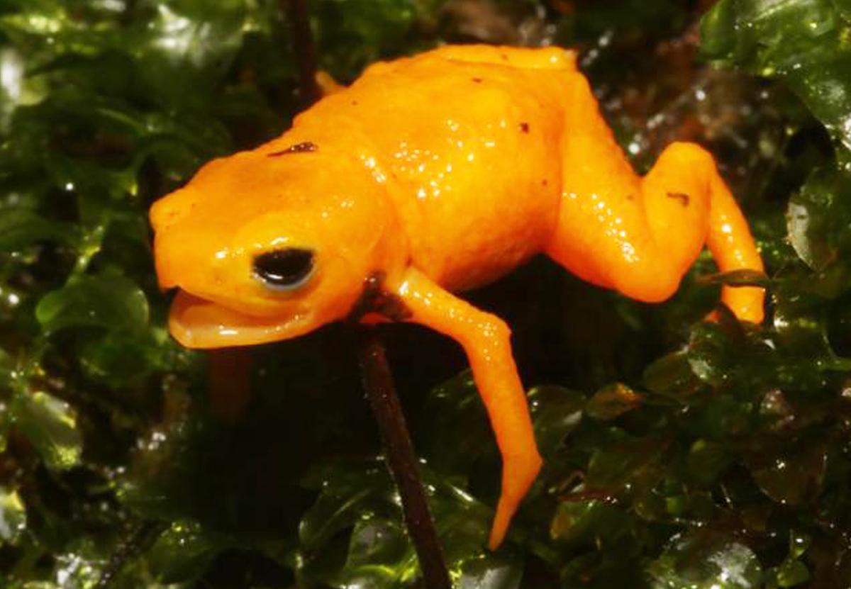 Красивые и ядовитые: в Бразилии открыли новый вид тыквенных жаб
