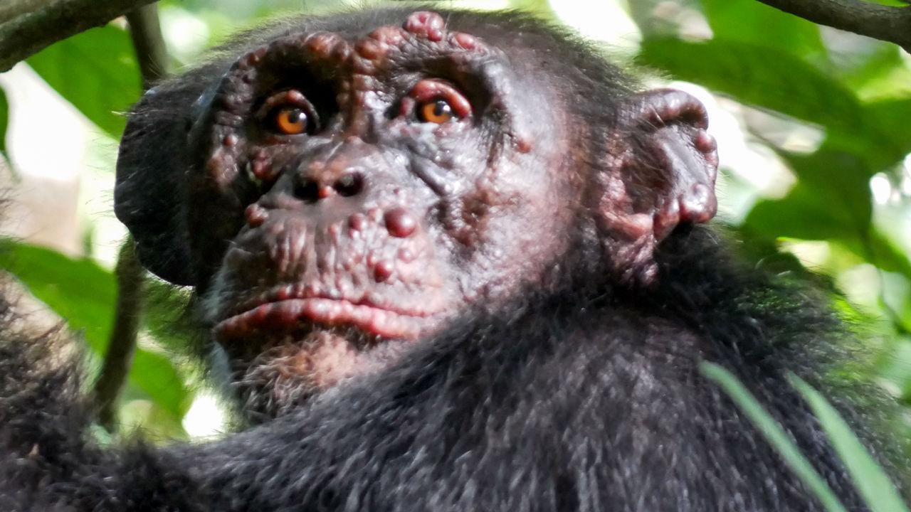 У шимпанзе в Африке обнаружили проказу