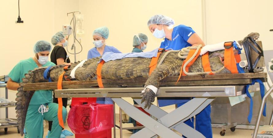 В США несколько часов оперировали крокодила, который съел кроссовок. ФОТО