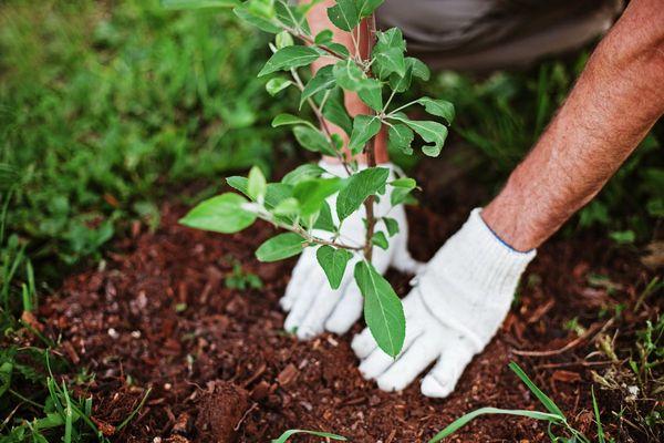 Береза:Посадить 1 миллиард деревьев за три года – это по 913 242 в день и по634 в минуту