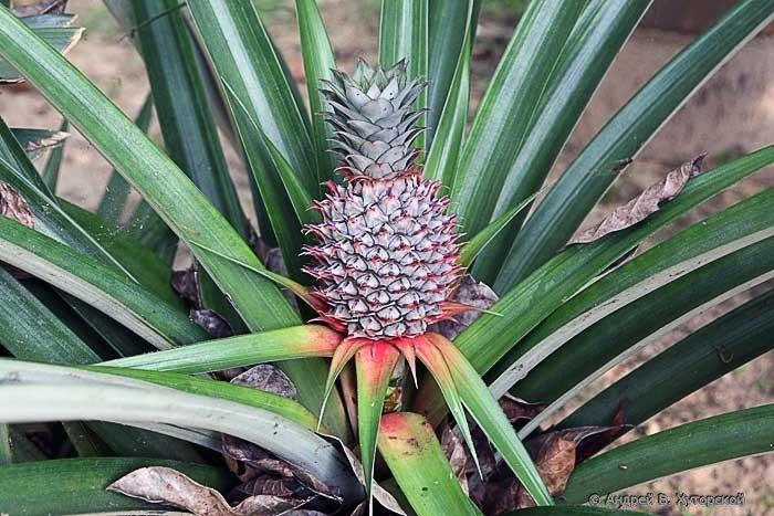 Как вырастить ананас дома из верхушки - 998